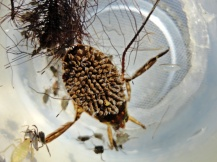 Cuidado de pai. São os machos de Belostoma anurum (Hemiptera: Belostomatidae) quem cuidam dos filhos.