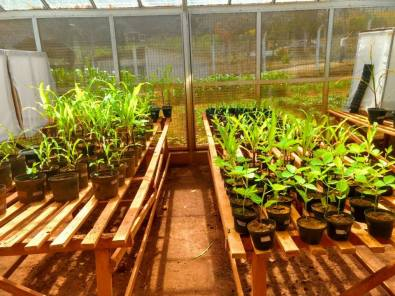 Manutenção de plantas para criação de pulgão e mosca-branca.
