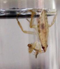 Barata d'água predando uma larva de mosquito.