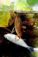 Barata d'água predando um peixe!