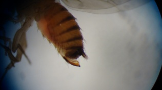 Detalhe do ovipositor de Drosophila suzukii fêmea.