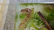 Oviposição de barata d'água!(fêmea deposita os ovos no dorso do macho)